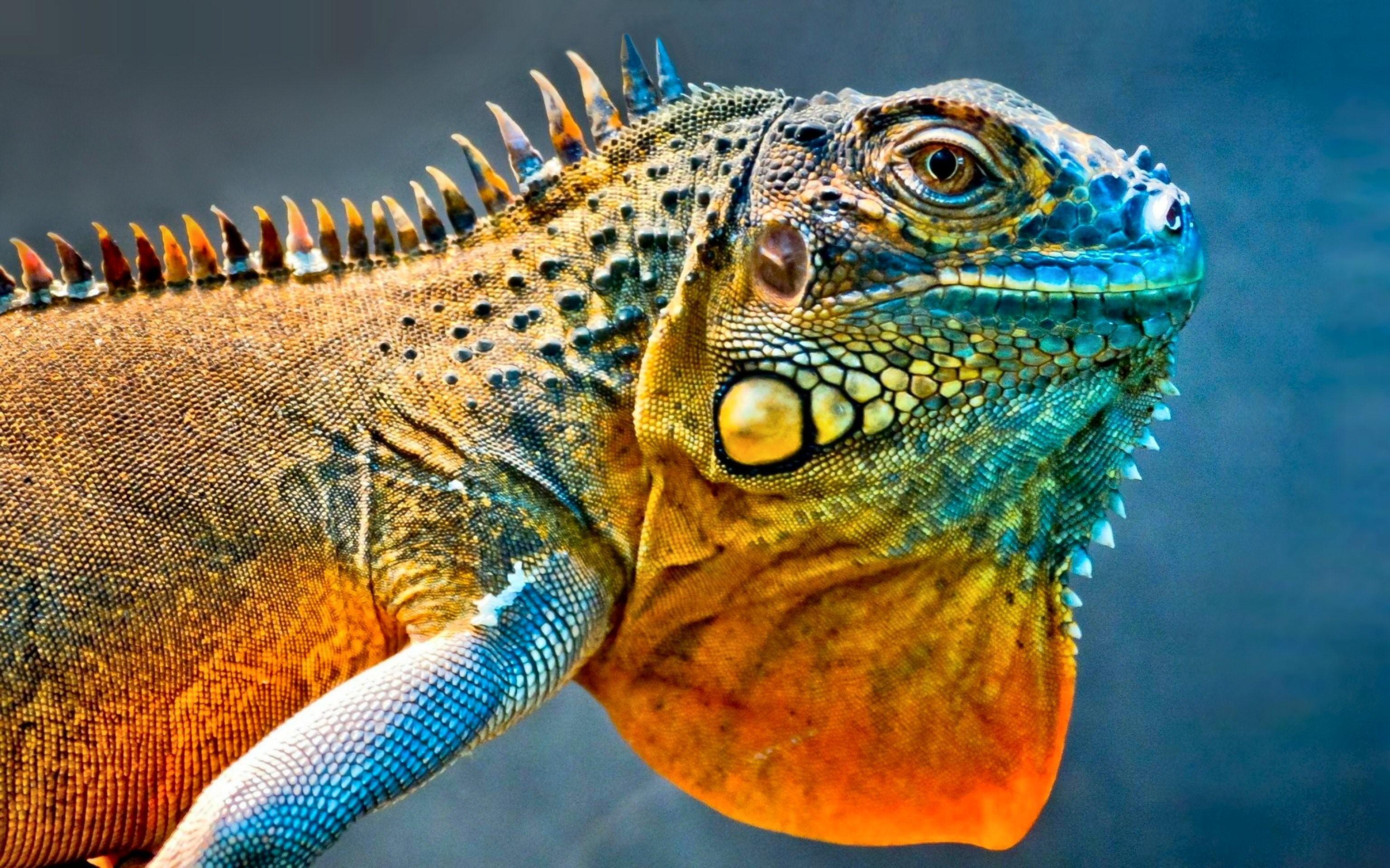 Iguana animal wallpaper en ultra hd - Ultra hd animal wallpapers ...