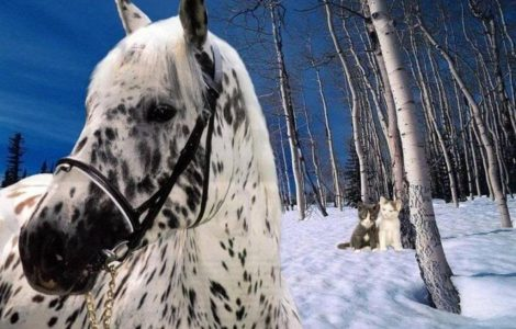 Wallpaper Caballo Appaloosa
