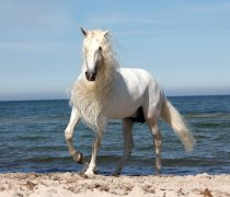 Wallpaper Caballo blanco andaluz