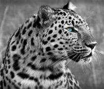 Wallpaper de un Leopardo