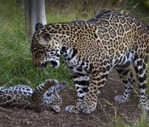 Wallpaper Familia de Jaguar