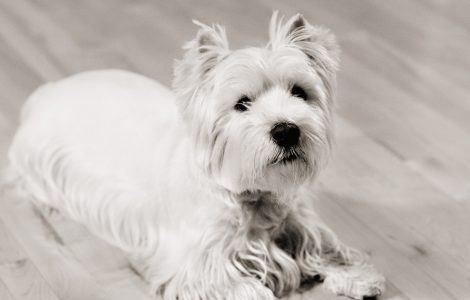 Wallpaper de un West Highland Terrier Blanco
