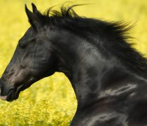 Wallpaper HD Caballo negro al galope