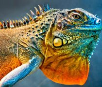 Iguana Animal Wallpaper en Ultra HD
