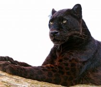 Wallpaper Leopardo Negro. Fondo de Pantalla WideScreen